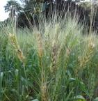 Giberella em trigo