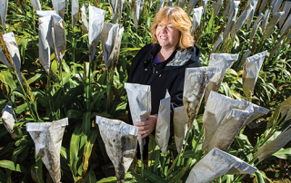 Dr. Lisa Vaillancourt of Plant Pathology studied different varieties of sorgum in her research plots at Spindletop research farm.